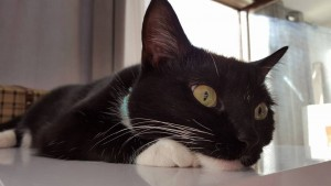 Romy-chat-a-adopter-larche-de-manoe